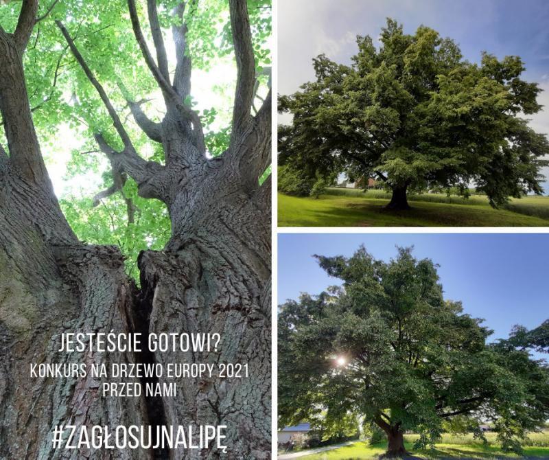 Lipa Europejskie Drzewo Roku zdjęcie wyróżniające