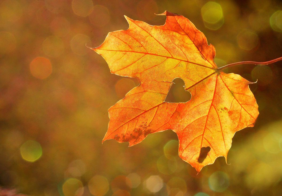 serce wycięte w jesiennym liściu klonu